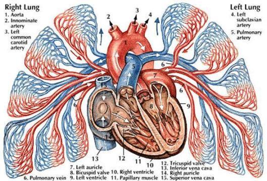akciğer atardamarı tanımı